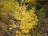 Yellow tamarack